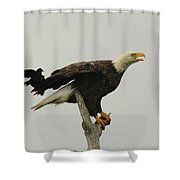 A Red Wing Black Bird Attacks A Bald Shower Curtain