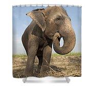 A Rescued Asian Elephant Eats Sugar Shower Curtain
