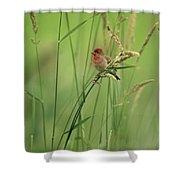 A Scarlet Grosbeak Perched On Grass Shower Curtain