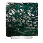 A School Of Tomtate And Glass Minnows Shower Curtain by Michael Wood