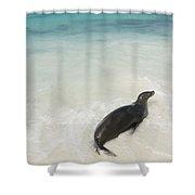 A Sea Lion Otariidae In The Shallow Shower Curtain