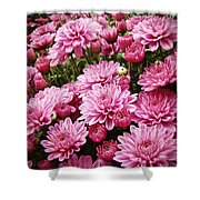 A Sea Of Pink Chrysanthemums Shower Curtain