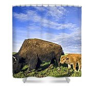 A Sow Bison Guides Her Calves On A Walk Shower Curtain