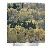 A Stand Of Aspen And Evergreen Trees Shower Curtain