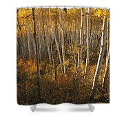 A Stand Of Aspen Trees Displaying Shower Curtain