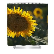 A Sunflower Bows To Its Own Weight Shower Curtain