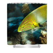 A Sunset Wrasse Swimming Shower Curtain