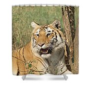 A Tiger Lying Casually But Fully Alert Shower Curtain