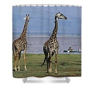 A Trio Of Giraffes Near The Edge Shower Curtain