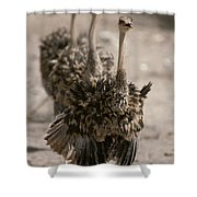A Trio Of Ostriches, Struthio Camelus Shower Curtain