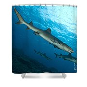 A Trio Of Whitetip Reef Sharks, Kimbe Shower Curtain