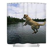 A Yellow Labrador Retriever Jumps Shower Curtain