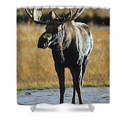A Young Bull Moose Shower Curtain