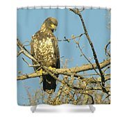 A Young Eagle Gazing Down  Shower Curtain