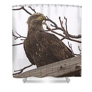 A Young Eagle In The Midst Of Change  Shower Curtain