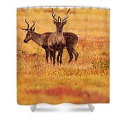 Adult Caribou In The Fall Colours Shower Curtain