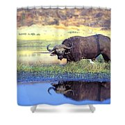 African Cape Buffalo, Photographed At Shower Curtain by John Pitcher