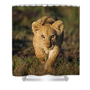 African Lion Panthera Leo Cub, Masai Shower Curtain