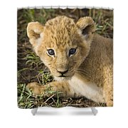 African Lion Panthera Leo Five Week Old Shower Curtain