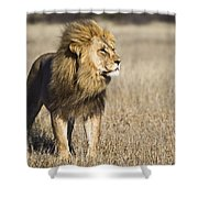 African Lion Panthera Leo Male, Khutse Shower Curtain