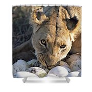 African Lion Panthera Leo Raiding Shower Curtain