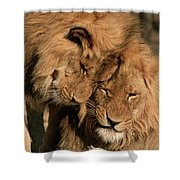 African Lion Panthera Leo Two Males, Mt Shower Curtain