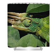 African Male Jacksons Chameleon Shower Curtain