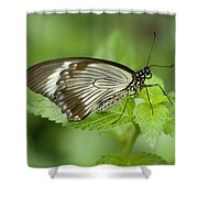 African Papilio Dardanus Butterfly Shower Curtain