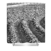 Agriculture- Soybeans 4 Shower Curtain