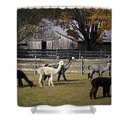 Alpacas In Vermont Shower Curtain