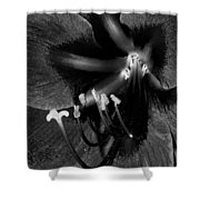 Amaryllis Flower In Black And White Shower Curtain