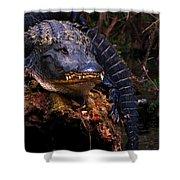 American Alligator On A Cypress Tree Shower Curtain