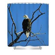 American Bald Eagle Haliaeetus Shower Curtain