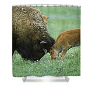 American Bison Cow And Calf Shower Curtain