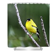 American Goldfinch - Single Male Shower Curtain