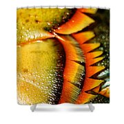 American Lobster Closeup In Chatham On Cape Cod Shower Curtain