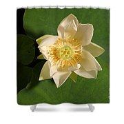 American Lotus Nelumbo Lutea Opening Shower Curtain