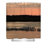 American White Pelicans At Sunset Shower Curtain