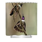 Amethyst-throated Sunangel Heliangelus Shower Curtain