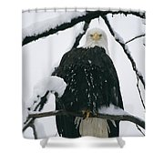 An American Bald Eagle Perched Shower Curtain