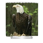 An American Bald Eagle Perches Atop Shower Curtain