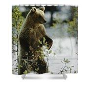 An Brown Bear Ursus Arctos Runs Shower Curtain
