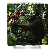 An Orangutan Gorges Himself Shower Curtain