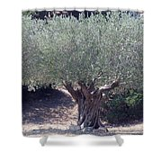 Ancient Old Olive Tree In South France Shower Curtain