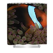Anemonefish In Purple Tip Anemone Shower Curtain