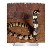 Angolan Coral Snake Defensive Display Shower Curtain