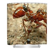 Ant Dorymyrmex Sp Workers Climbing Shower Curtain