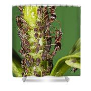 Ant Formicidae Pair Protecting Aphids Shower Curtain