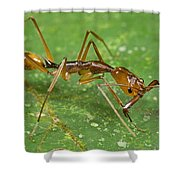 Ant Showing Large Mandibles Guyana Shower Curtain