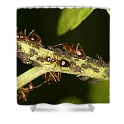 Ants Tending Aphids Shower Curtain